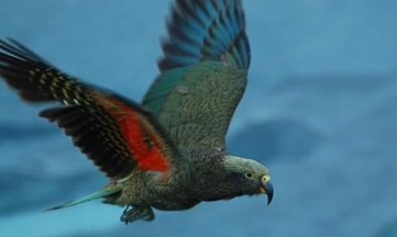 Juvenile-kea-n-flight-Mt-Cook-Corey-Mosen-home